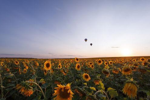 Обои Два воздушных шара парящих в воздухе над огромным подсолнечным полем на фоне утреннего небосклона с незначительной облачностью