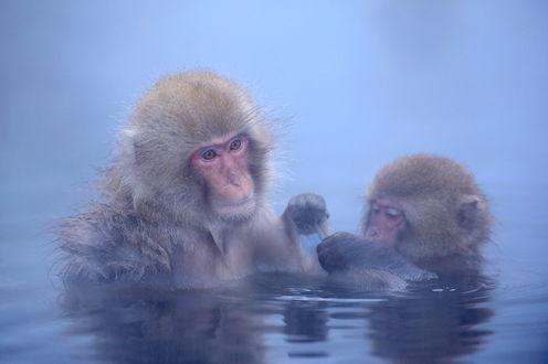 Обои Японская макака со своими детенышем, плавающие в воде