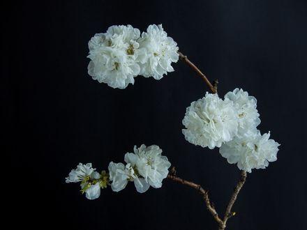 Обои Ветка с белыми цветами на черном фоне