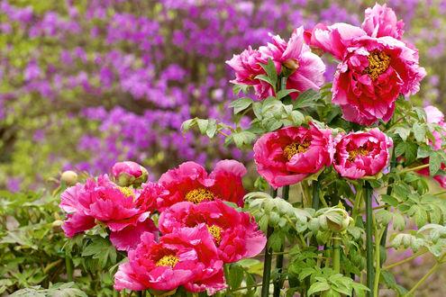 Бегония фото цветов и названия