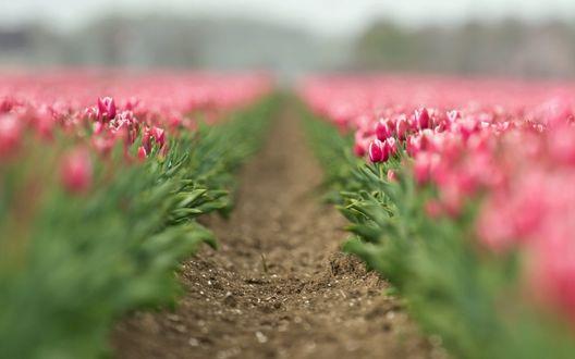 Обои Дорожка посреди цветущих розовых тюльпанов