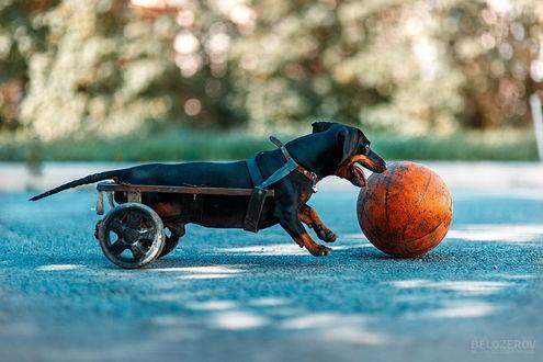 Обои Черная такса, запряженная в маленькую коляску, пытается носом дотянуться до баскетбольного мяча, лежащего перед ней на дороге, автор Михаил Белозеров