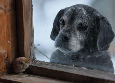 Обои Собака смотрит на мышь, by Kai Fagerstrom