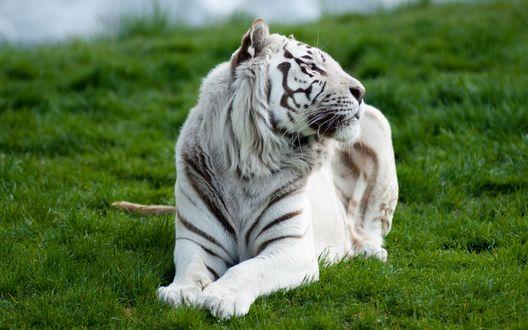 Обои Белый тигр лежит на зеленой траве