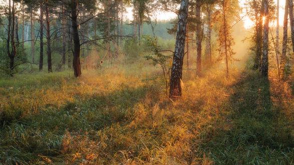Обои Золотистые лучи восходящего солнца на утреннем небосклоне осветили опушку лесопосадки, покрытую зеленой травой, паука со свисающей паутиной с веток дерева
