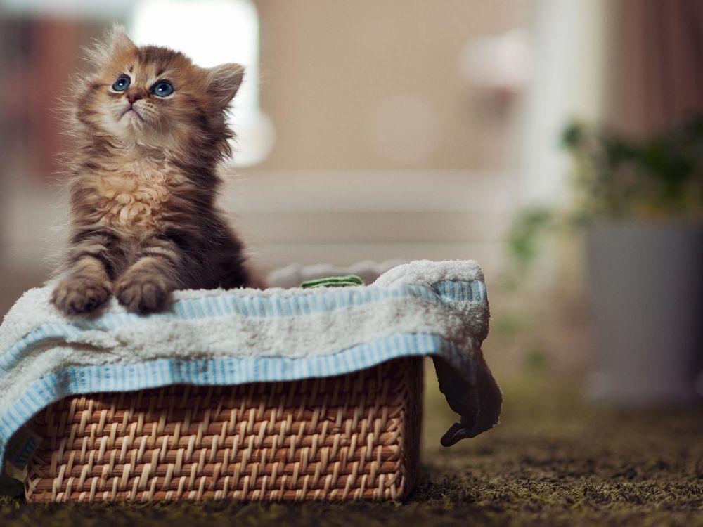 Обои Котенок сидит в корзинке, задрав мордочку вверх на ...