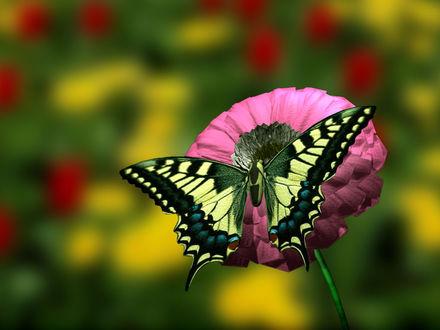 Обои Бабочка махаон присела на цветок цинии