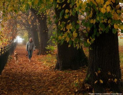 Обои Женщина, гуляющая с собакой по аллеи парка, усыпанного густым слоем осенних листьев, автор Владимир Трофимов