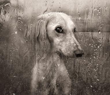 Обои Грустная собака, сидящая за запотевшим от дождевых капель оконным стеклом и с нетерпением ждущая хозяина