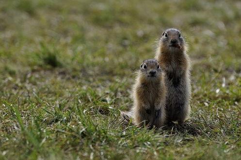Обои Пара сусликов, стоящих на задних лапках на зеленой траве