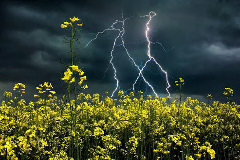 Обои Рапсовое поле на фоне грозового небосклона со сверкающими молниями