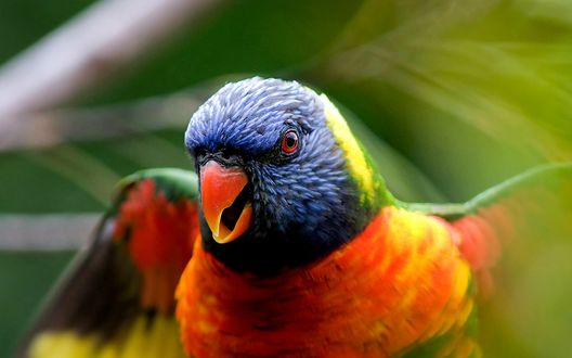 Обои Разноцветный попугай, макросъемка