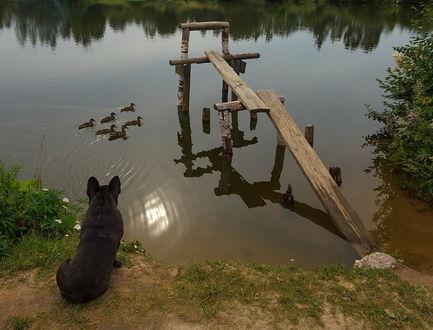 Обои Собака, сидящая на берегу водоема на рассвете, внимательно наблюдает за утками, плавающими невдалеке от деревянного мостика, автор Аркадий Белов