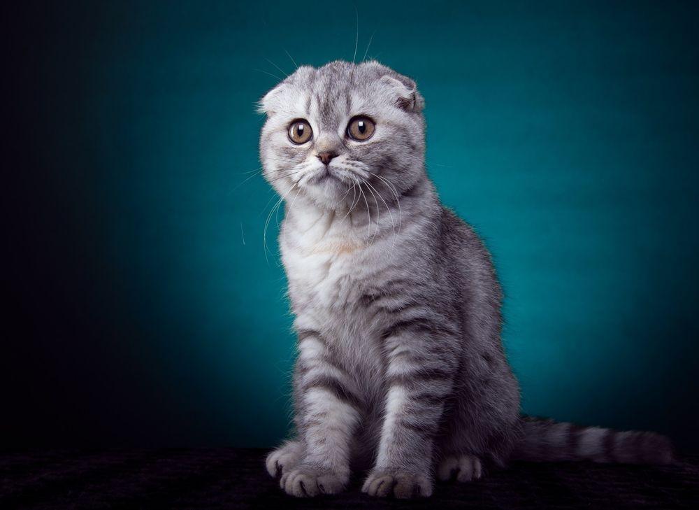 Рабочий стол картинки шотландские вислоухие котята