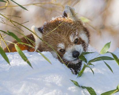Обои Красная панда в снегу