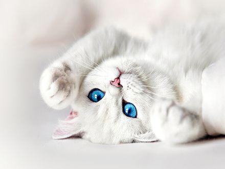 Обои Белый кот с голубыми глазами