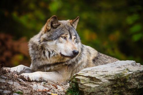 Обои Волк лежит на камне