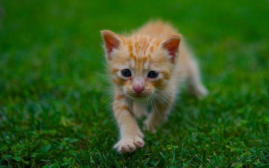 Обои Рыжий маленький котенок идет по траве