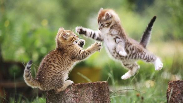 Обои Милые котят играют