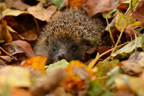 Обои Ёж спрятался среди осенних листьев
