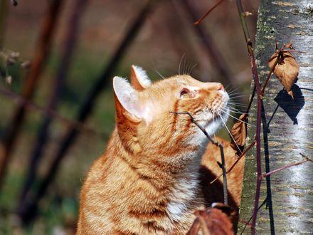 Обои Рыжий кот смотрит на осенний лист