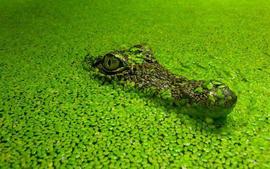Обои Крокодил высунул голову с воды, покрытой зелеными листьями водного растения