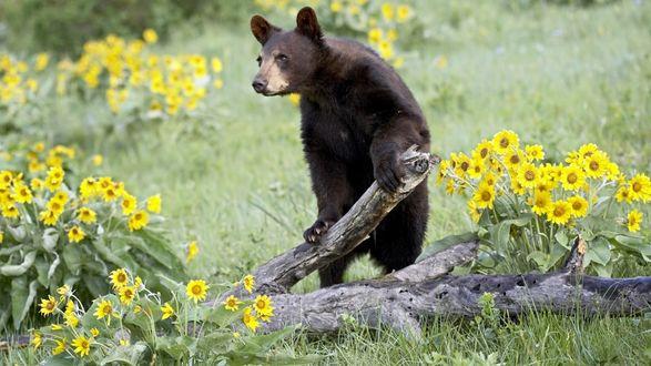 Обои Бурый медведь стоит на задних лапах и держится передними лапами за поваленное дерево. Вокруг цветут желтые цветы