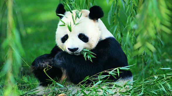 Обои Взрослая панда сидит и ест молодые побеги бамбука