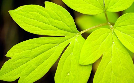Обои Зеленые листья крупным планом в капельках воды
