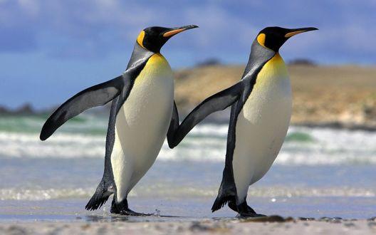 Обои Два пингвина идут, взявшись за ласты