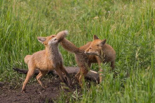Обои Играющие на зеленой траве лисята, автор Руслан Сигушин