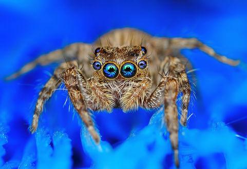 Обои Паук с шестью глазами, сидит на голубом растении