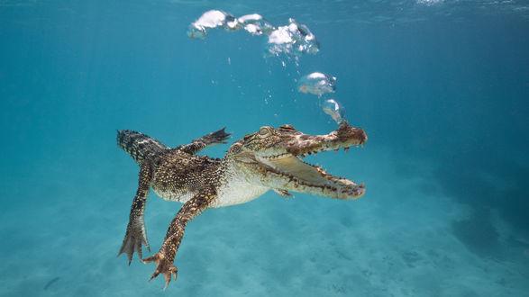 Обои Крокодил плывет под водой, выпуская с ноздрей воздушные пузыри