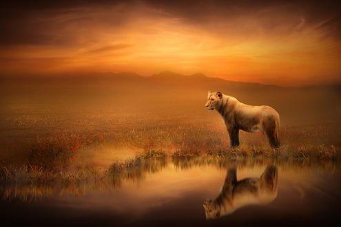 Обои Львица стоит у воды на цветочном поле на фоне закатного неба