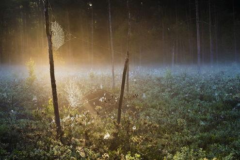 Обои Паутина, висящая между высохшими стволами деревьев в солнечных лучах, пробивающихся сквозь густую крону деревьев, автор Rimantas Bikulcius