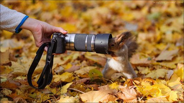 Обои Любопытный бельчонок, стоящий на задних лапах на ковре из осенних листьев, смотрящий в объектив фотоаппарата, держащего мужской рукой, автор Алексей Низовцев