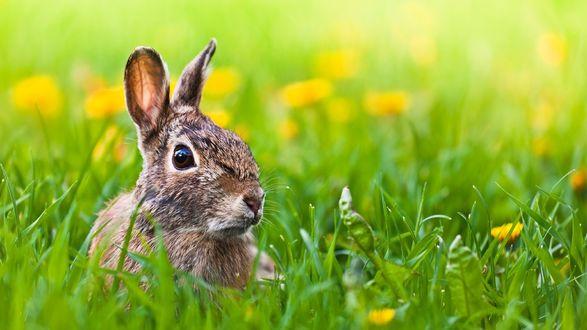 Обои Кролик в зеленой траве с одуванчиками