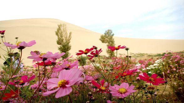 Обои Розовые ромашки на фоне песчаных дюн