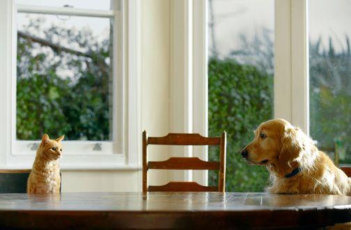 Обои Кот и собака сидят за столом