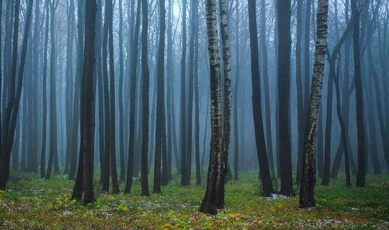 Обои Опушка лесной рощи, земля которой покрыта осенними листьями, легким туманом между деревьями, автор Сергей Зимин