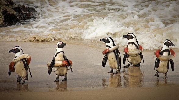 Обои Стайка пингвинов в спасательных кругах стоят на берегу моря