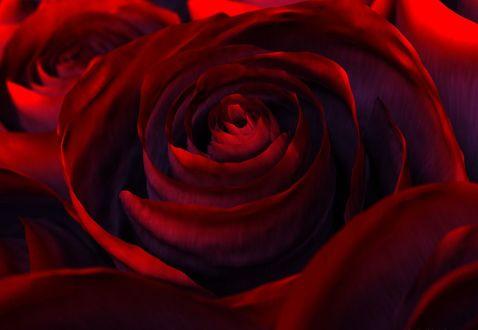 Обои Красные розы с легкой синей дымкой