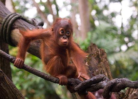 Обои Прикольный детеныш орангутанга, ползающий по стволу дерева, автор VladimirD