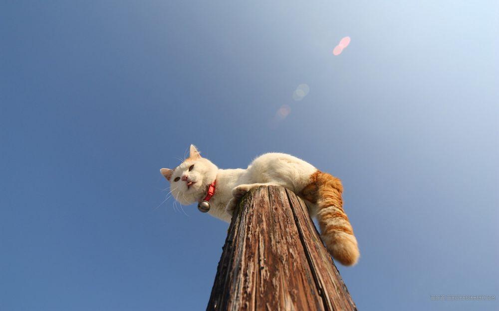 Обои для рабочего стола Белый кот с рыжим хвостом и колокольчиком на шее, сидит на самой верхушке деревянного столба