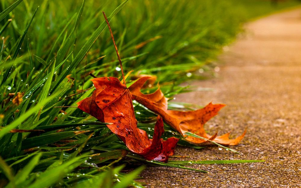 Обои для рабочего стола Осенний лист лежит на траве покрытой каплями воды у дороги