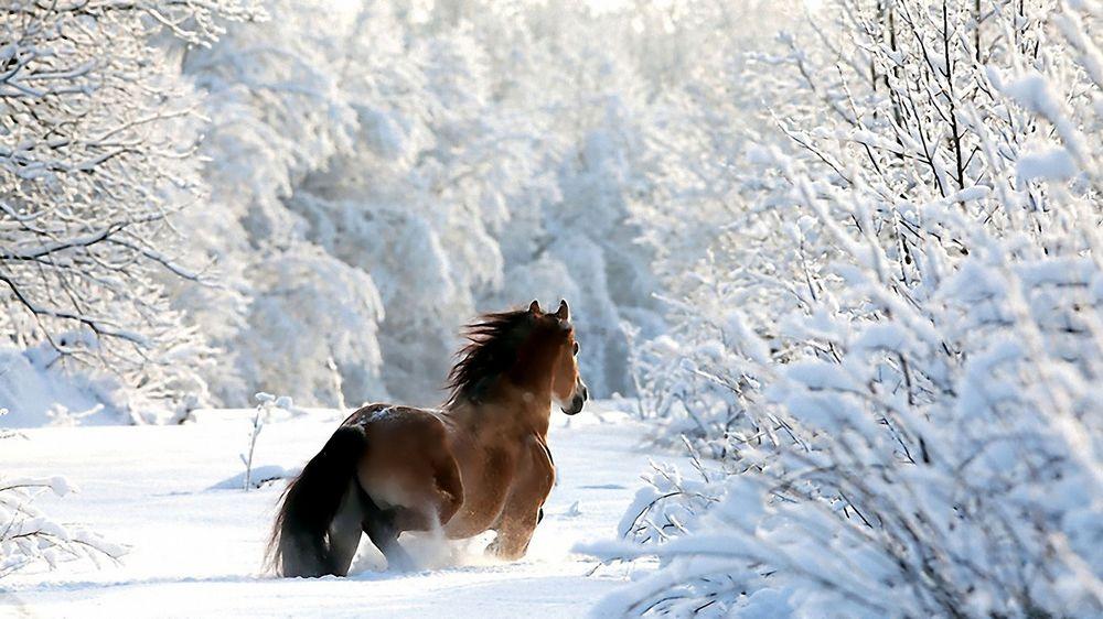 Обои На Рабочий Стол Лошади Зимой