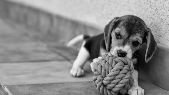Обои Маленький щенок у стены играет с верековкой-канатом