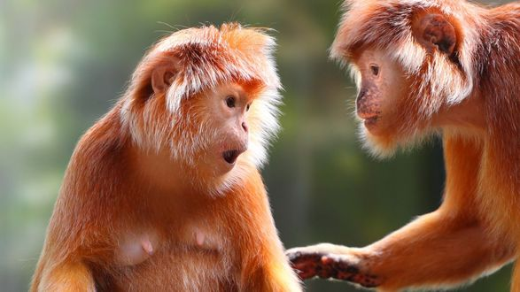 Обои Две обезьянки беседуют друг с другом на размытом фоне