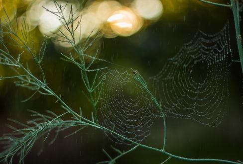 Обои Паук, свивший две путины между зелеными стеблями растения в капельках утренней росы на размытом фоне с бликами, автор Germanic
