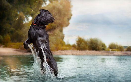 Обои Собака выпрыгивает из воды поднимая брызги вокруг себя на заднем плане берег и растущие на нем деревья
